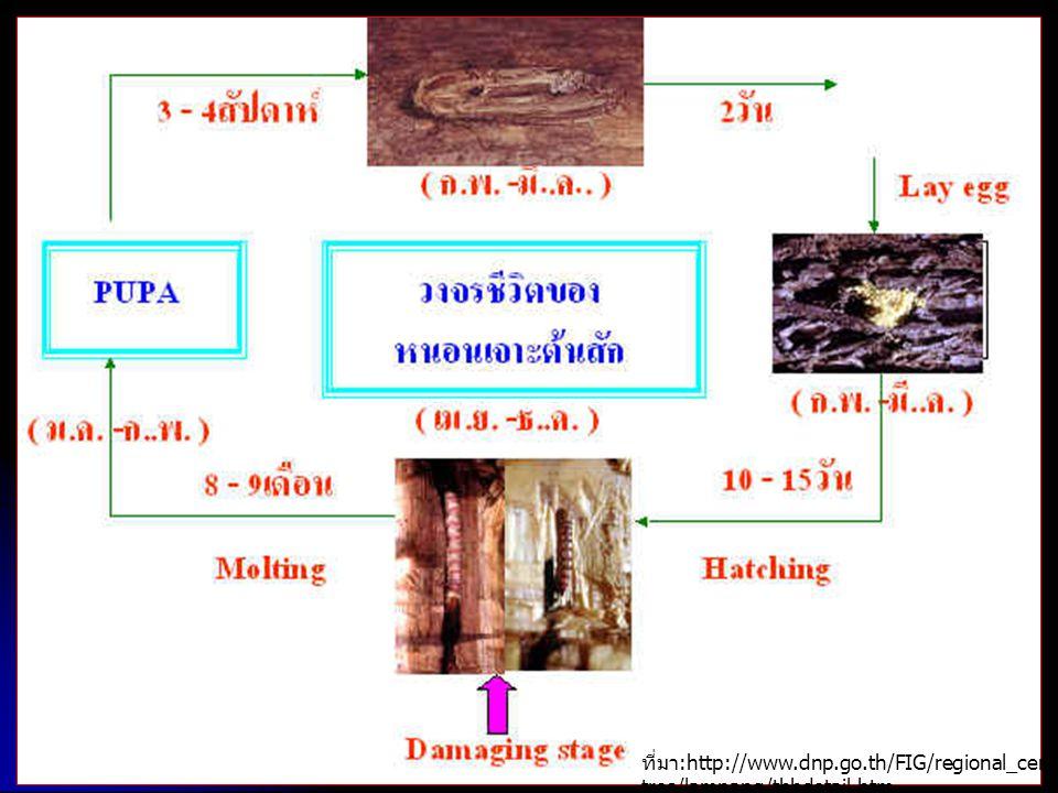ที่มา :http://www.dnp.go.th/FIG/regional_cen tres/lampang/tbbdetail.htm