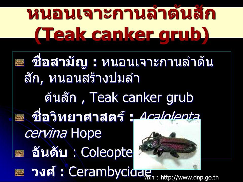 หนอนเจาะกานลำต้นสัก (Teak canker grub) ชื่อสามัญ : หนอนเจาะกานลำต้น สัก, หนอนสร้างปมลำ ชื่อสามัญ : หนอนเจาะกานลำต้น สัก, หนอนสร้างปมลำ ต้นสัก, Teak ca