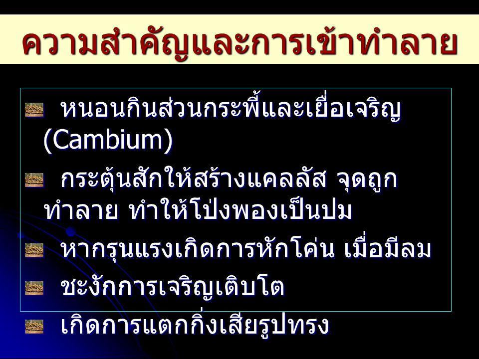ความสำคัญและการเข้าทำลาย หนอนกินส่วนกระพี้และเยื่อเจริญ (Cambium) หนอนกินส่วนกระพี้และเยื่อเจริญ (Cambium) กระตุ้นสักให้สร้างแคลลัส จุดถูก ทำลาย ทำให้
