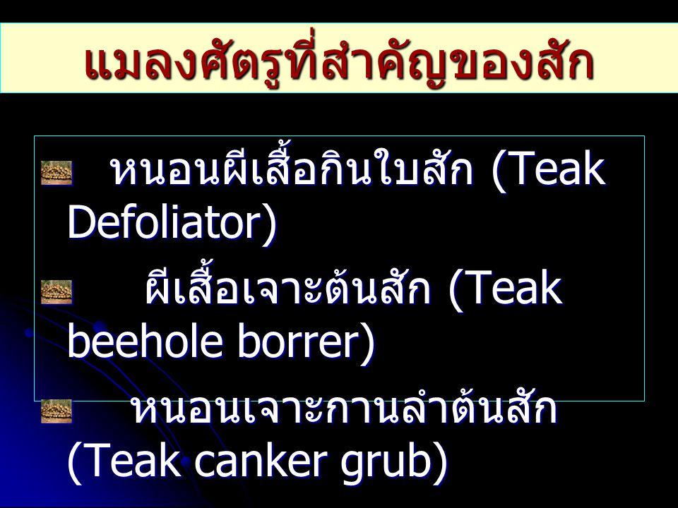 แมลงศัตรูที่สำคัญของสัก หนอนผีเสื้อกินใบสัก (Teak Defoliator) หนอนผีเสื้อกินใบสัก (Teak Defoliator) ผีเสื้อเจาะต้นสัก (Teak beehole borrer) ผีเสื้อเจา