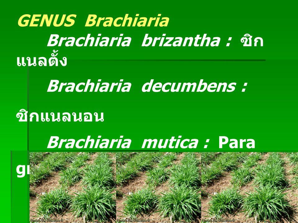 พันธุ์ถั่วที่ควรรู้จัก - Centrosema pubescens : Centro ถั่วลาย - Desmodium intortum : Green leaf Desmodium - Desmodium uncinatum : Silver leaf Desmodium - Stylosanthes guianensis : Stylo, perenian stylo - Stylosanthes hamata : Caribbean Stylo, Hamata, Verano Stylo - Stylosanthes humilis : Townsvill Stylo - Stylosanthes scabra : Shrubby Stylo - Macroptilium atropurpureum : Siratro