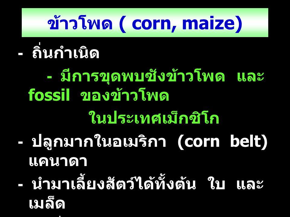 ข้าวโพด ( corn, maize) - ถิ่นกำเนิด - มีการขุดพบซังข้าวโพด และ fossil ของข้าวโพด ในประเทศเม็กซิโก - ปลูกมากในอเมริกา (corn belt) แคนาดา - นำมาเลี้ยงสั