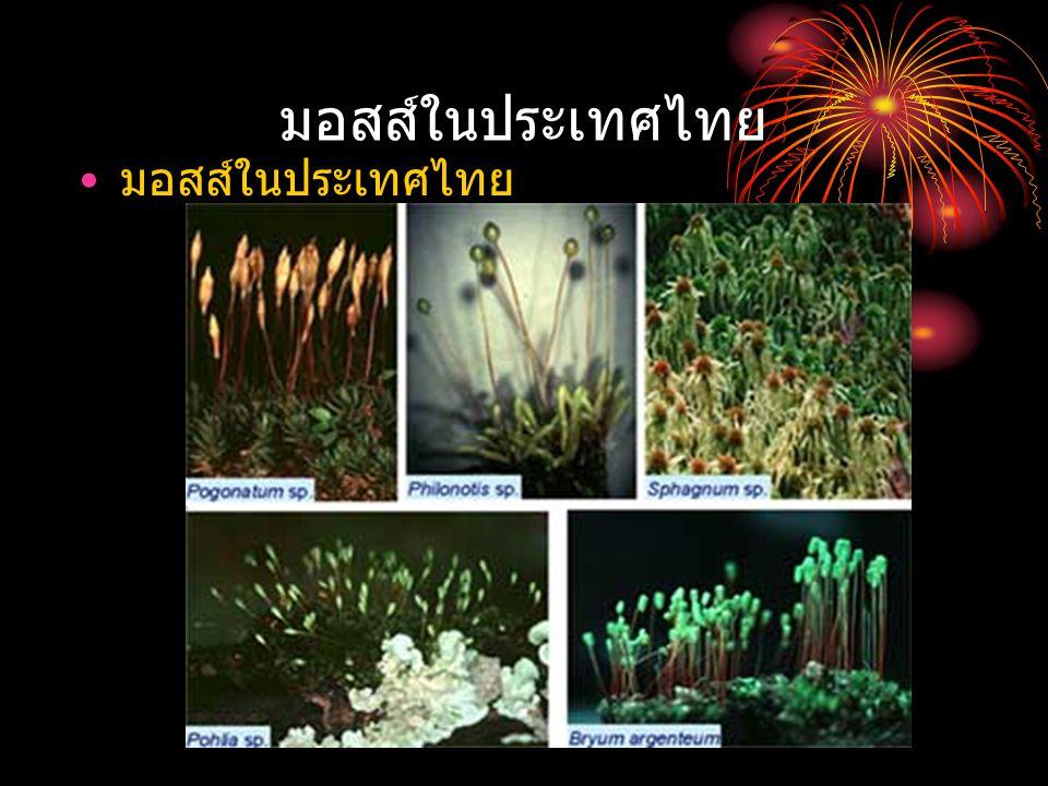 มอสส์ในประเทศไทย