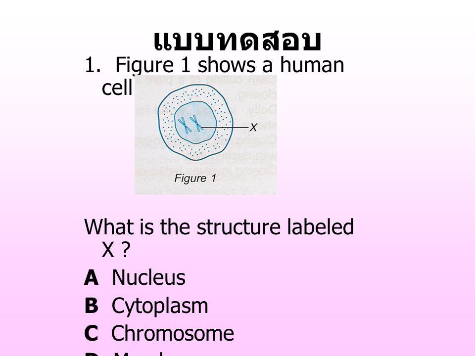 แบบทดสอบ 1. Figure 1 shows a human cell ? What is the structure labeled X ? A Nucleus B Cytoplasm C Chromosome D Membrane