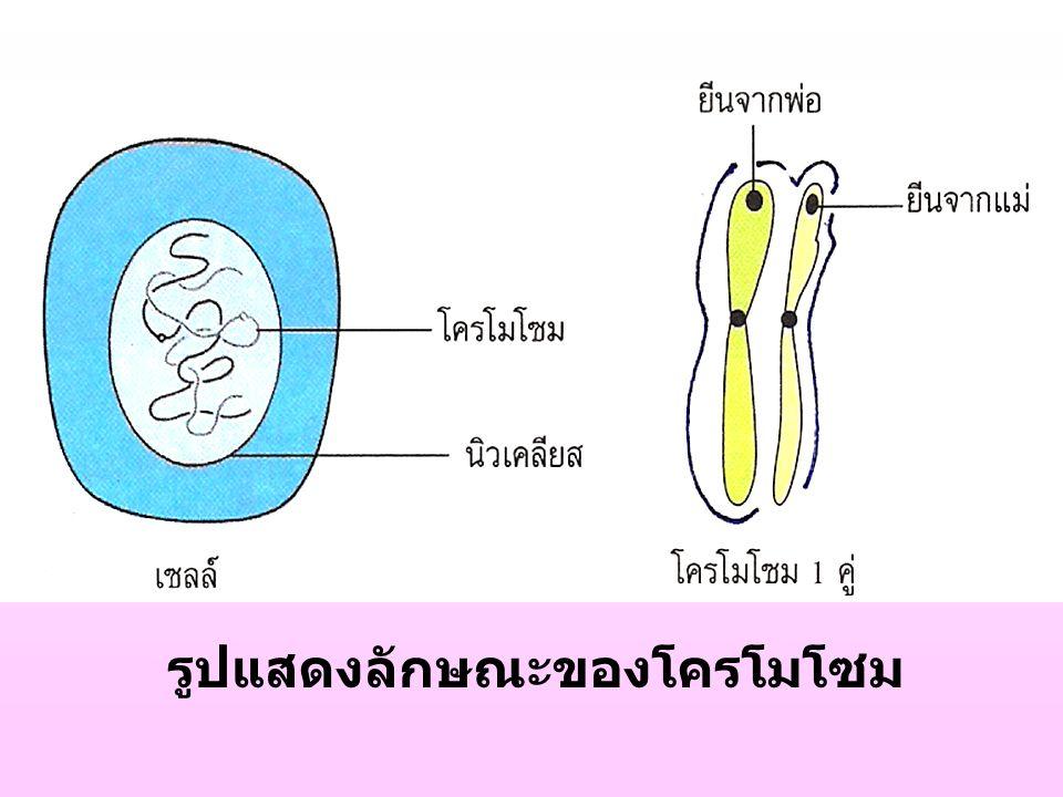 รูปแสดงลักษณะของโครโมโซม
