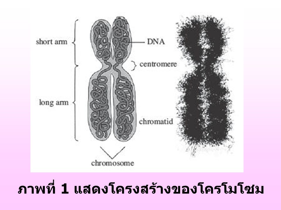 รูปของโครโมโซม
