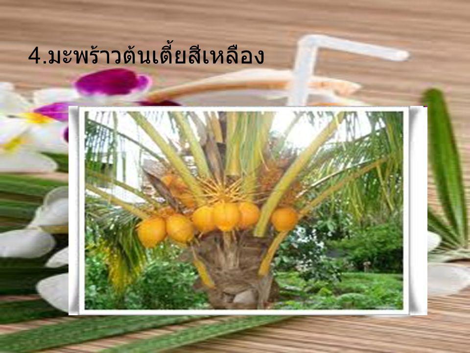 4. มะพร้าวต้นเตี้ยสีเหลือง