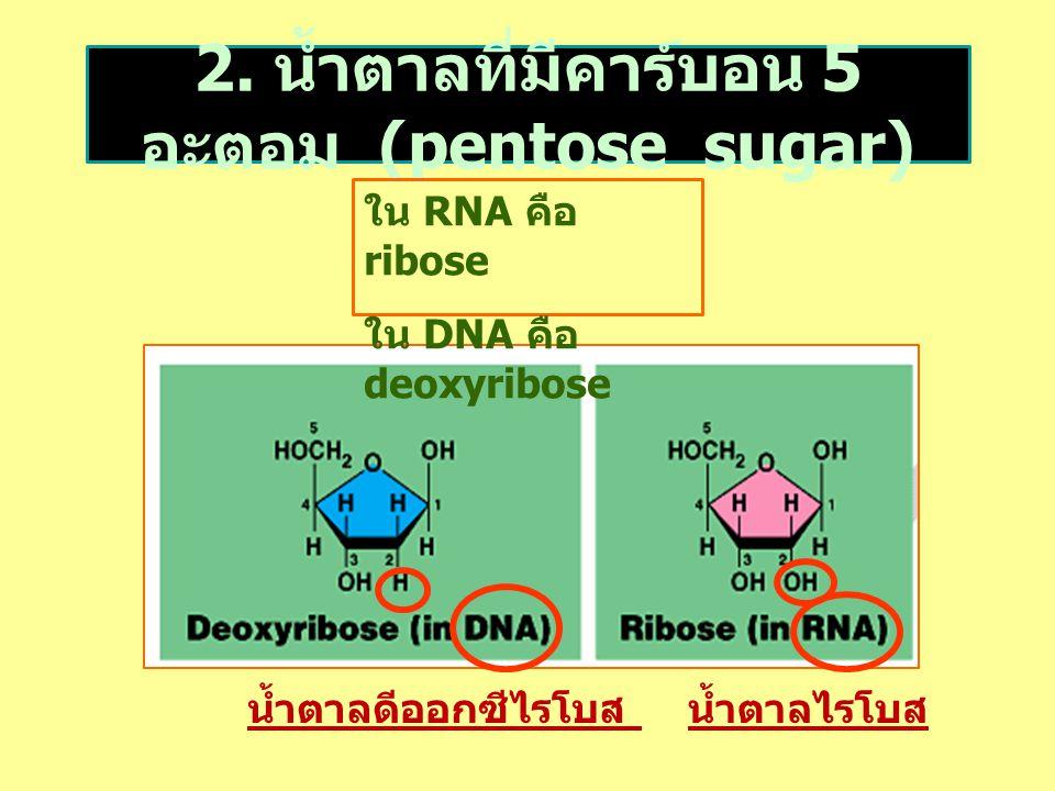 2. น้ำตาลที่มีคาร์บอน 5 อะตอม (pentose sugar) น้ำตาลไรโบสน้ำตาลดีออกซีไรโบส ใน RNA คือ ribose ใน DNA คือ deoxyribose