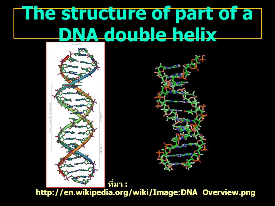 The structure of part of a DNA double helix ที่มา : http://en.wikipedia.org/wiki/Image:DNA_Overview.png