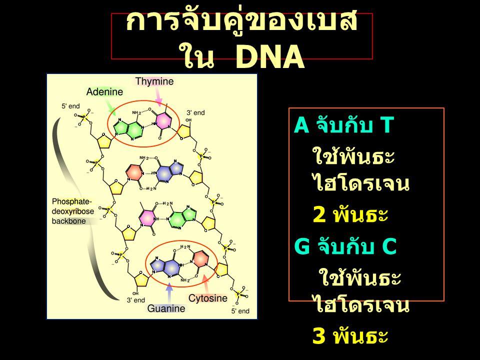 การจับคู่ของเบส ใน DNA A จับกับ T ใช้พันธะ ไฮโดรเจน 2 พันธะ G จับกับ C ใช้พันธะ ไฮโดรเจน 3 พันธะ