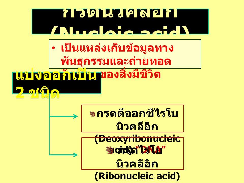"""เป็นแหล่งเก็บข้อมูลทาง พันธุกรรมและถ่ายทอด ลักษณะของสิ่งมีชีวิต แบ่งออกเป็น 2 ชนิด กรดดีออกซีไรโบ นิวคลีอิก (Deoxyribonucleic acid) """"DNA"""" กรดไรโบ นิวค"""