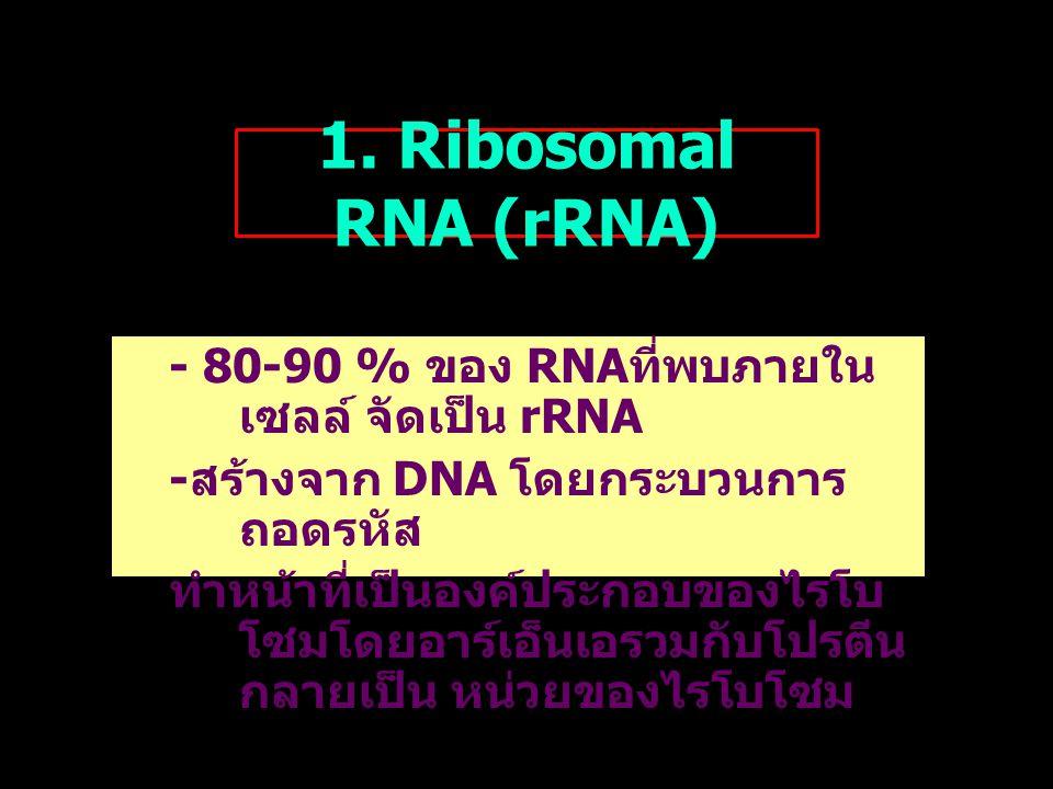 1. Ribosomal RNA (rRNA) - 80-90 % ของ RNA ที่พบภายใน เซลล์ จัดเป็น rRNA - สร้างจาก DNA โดยกระบวนการ ถอดรหัส ทำหน้าที่เป็นองค์ประกอบของไรโบ โซมโดยอาร์เ