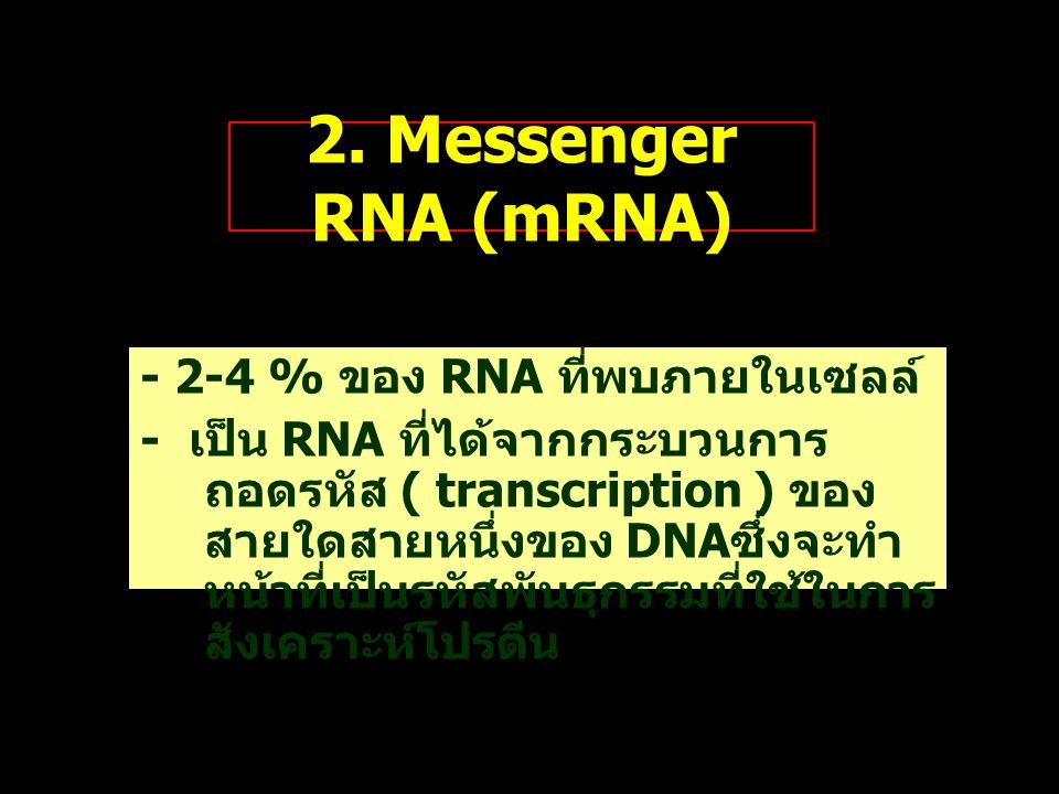 2. Messenger RNA (mRNA) - 2-4 % ของ RNA ที่พบภายในเซลล์ - เป็น RNA ที่ได้จากกระบวนการ ถอดรหัส ( transcription ) ของ สายใดสายหนึ่งของ DNA ซึ่งจะทำ หน้า