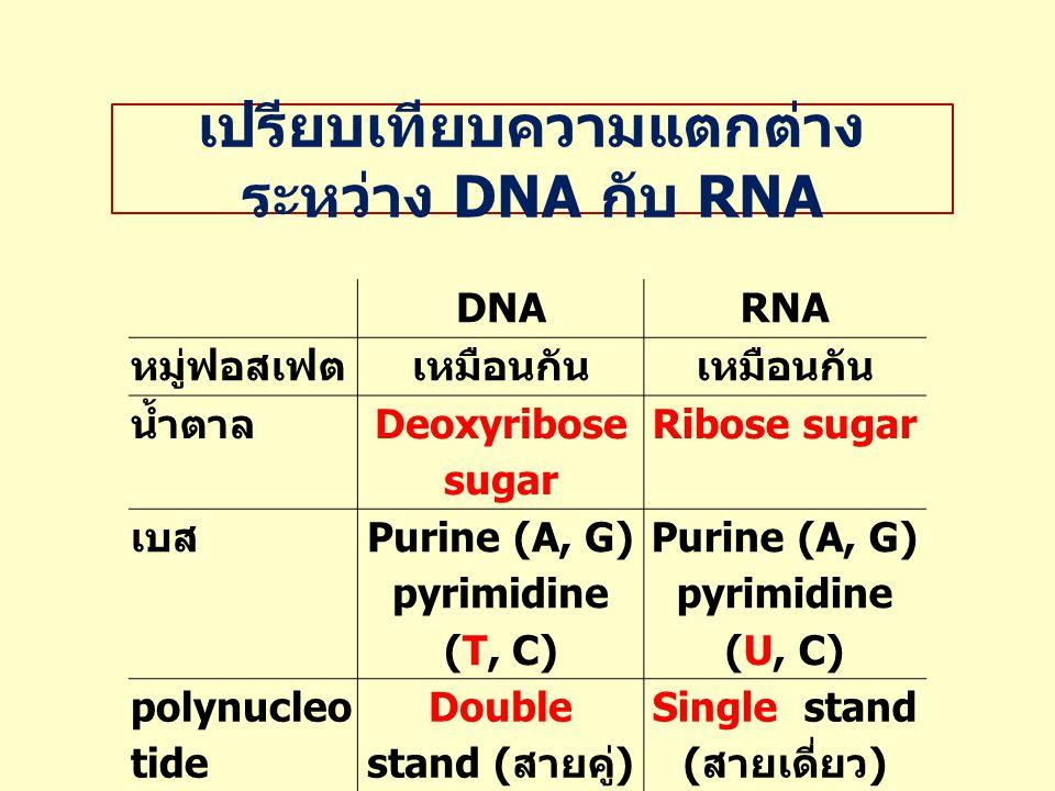 เปรียบเทียบความแตกต่าง ระหว่าง DNA กับ RNA DNARNA หมู่ฟอสเฟตเหมือนกัน น้ำตาล Deoxyribose sugar Ribose sugar เบส Purine (A, G) pyrimidine (T, C) Purine