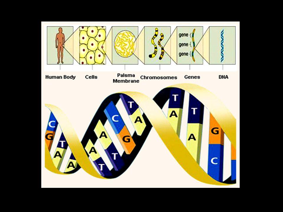 DNA (Deoxyribonucle ic acid) ประกอบด้วยสาย polynucleotide 2 สาย เรียงต่อขนานกัน และมีโครงสร้าง เป็นเกลียว เรียกว่า double helix