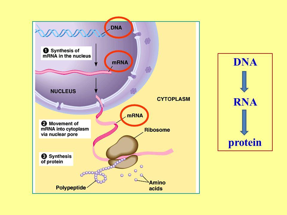 เปรียบเทียบความแตกต่าง ระหว่าง DNA กับ RNA DNARNA หมู่ฟอสเฟตเหมือนกัน น้ำตาล Deoxyribose sugar Ribose sugar เบส Purine (A, G) pyrimidine (T, C) Purine (A, G) pyrimidine (U, C) polynucleo tide Double stand ( สายคู่ ) Single stand ( สายเดี่ยว )
