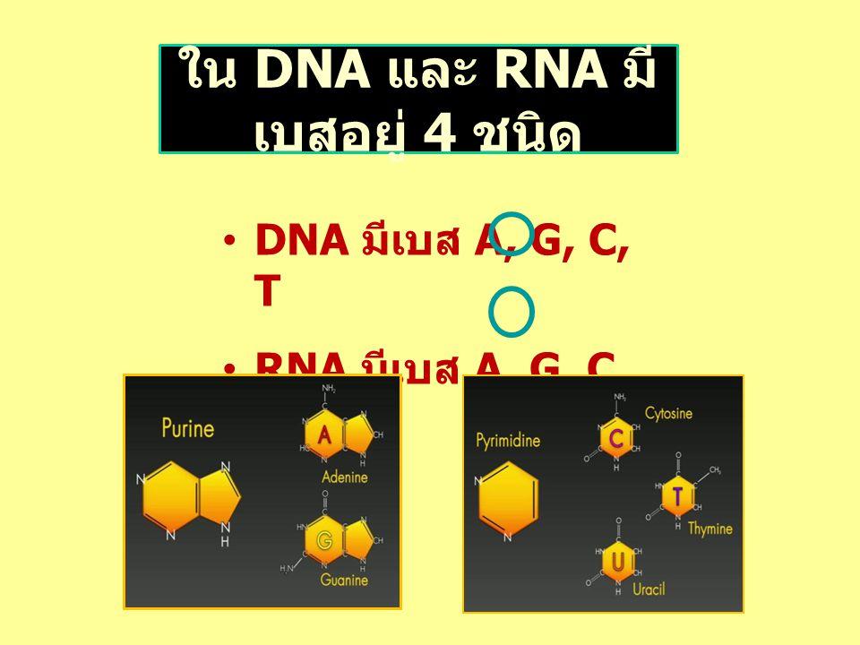 ใน DNA และ RNA มี เบสอยู่ 4 ชนิด DNA มีเบส A, G, C, T RNA มีเบส A, G, C, U