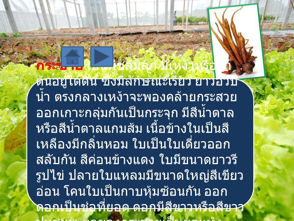 กระชาย เป็นพืชล้มลุก มีเหง้าหรือลำ ต้นอยู่ใต้ดิน ซึ่งมีลักษณะเรียว ยาวอวบ น้ำ ตรงกลางเหง้าจะพองคล้ายกระสวย ออกเกาะกลุ่มกันเป็นกระจุก มีสีน้ำตาล หรือสี