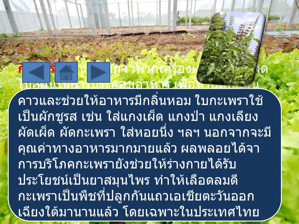 กะเพรา เป็นพืชผักจำพวกเครื่องเทศที่ใช้ใบสด ใบอ่อนในการประกอบอาหาร เพื่อช่วยดับกลิ่น คาวและช่วยให้อาหารมีกลิ่นหอม ใบกะเพราใช้ เป็นผักชูรส เช่น ใส่แกงเผ็ด แกงป่า แกงเลียง ผัดเผ็ด ผัดกะเพรา ใส่หอยนึ่ง ฯลฯ นอกจากจะมี คุณค่าทางอาหารมากมายแล้ว ผลพลอยได้จา การบริโภคกะเพรายังช่วยให้ร่างกายได้รับ ประโยชน์เป็นยาสมุนไพร ทำให้เลือดลมดี กะเพราเป็นพืชที่ปลูกกันแถวเอเชียตะวันออก เฉียงใต้มานานแล้ว โดยเฉพาะในประเทศไทย และมาเลเซีย
