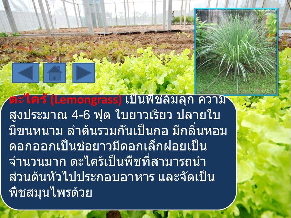 ตะไคร้ (Lemongrass) เป็นพืชล้มลุก ความ สูงประมาณ 4-6 ฟุต ใบยาวเรียว ปลายใบ มีขนหนาม ลำต้นรวมกันเป็นกอ มีกลิ่นหอม ดอกออกเป็นช่อยาวมีดอกเล็กฝอยเป็น จำนว