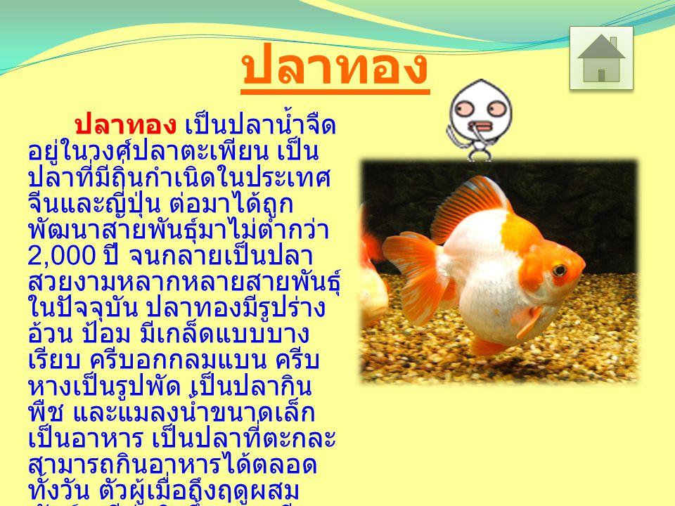 ปลาทอง ปลาทอง เป็นปลาน้ำจืด อยู่ในวงศ์ปลาตะเพียน เป็น ปลาที่มีถิ่นกำเนิดในประเทศ จีนและญี่ปุ่น ต่อมาได้ถูก พัฒนาสายพันธุ์มาไม่ต่ำกว่า 2,000 ปี จนกลายเป็นปลา สวยงามหลากหลายสายพันธุ์ ในปัจจุบัน ปลาทองมีรูปร่าง อ้วน ป้อม มีเกล็ดแบบบาง เรียบ ครีบอกกลมแบน ครีบ หางเป็นรูปพัด เป็นปลากิน พืช และแมลงน้ำขนาดเล็ก เป็นอาหาร เป็นปลาที่ตะกละ สามารถกินอาหารได้ตลอด ทั้งวัน ตัวผู้เมื่อถึงฤดูผสม พันธุ์จะมีตุ่มสิวขึ้นตามครีบอก และใบหน้า