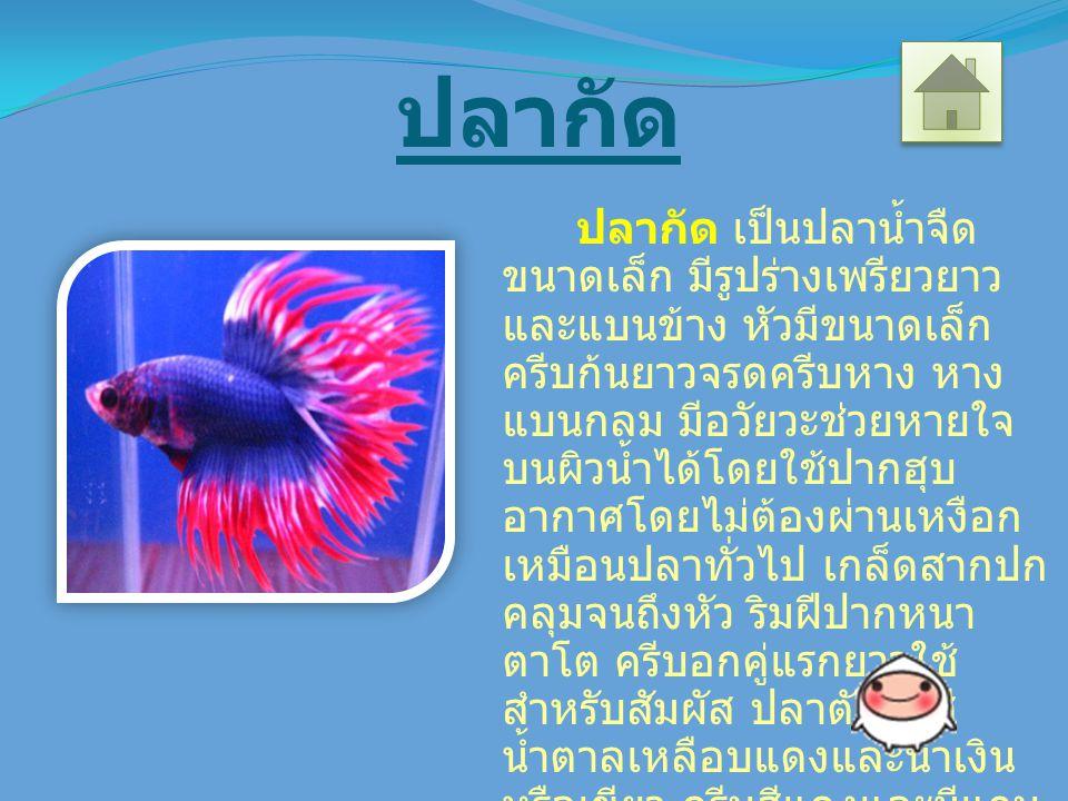 ปลากัด ปลากัด เป็นปลาน้ำจืด ขนาดเล็ก มีรูปร่างเพรียวยาว และแบนข้าง หัวมีขนาดเล็ก ครีบก้นยาวจรดครีบหาง หาง แบนกลม มีอวัยวะช่วยหายใจ บนผิวน้ำได้โดยใช้ปากฮุบ อากาศโดยไม่ต้องผ่านเหงือก เหมือนปลาทั่วไป เกล็ดสากปก คลุมจนถึงหัว ริมฝีปากหนา ตาโต ครีบอกคู่แรกยาวใช้ สำหรับสัมผัส ปลาตัวผู้มีสี น้ำตาลเหลือบแดงและน้ำเงิน หรือเขียว ครีบสีแดงและมีแถบ สีเหลือง ในขณะที่ปลาตัวเมียสี จะซีดอ่อนและมีขนาดลำตัวที่ เล็กกว่ามากจนเห็นได้ชัด