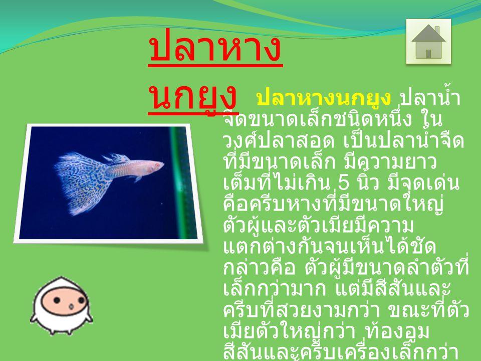 ปลาหางนกยูง ปลาน้ำ จืดขนาดเล็กชนิดหนึ่ง ใน วงศ์ปลาสอด เป็นปลาน้ำจืด ที่มีขนาดเล็ก มีความยาว เต็มที่ไม่เกิน 5 นิ้ว มีจุดเด่น คือครีบหางที่มีขนาดใหญ่ ตัวผู้และตัวเมียมีความ แตกต่างกันจนเห็นได้ชัด กล่าวคือ ตัวผู้มีขนาดลำตัวที่ เล็กกว่ามาก แต่มีสีสันและ ครีบที่สวยงามกว่า ขณะที่ตัว เมียตัวใหญ่กว่า ท้องอูม สีสันและครีบเครื่องเล็กกว่า กินสัตว์น้ำตัวเล็กเป็นอาหาร รวมทั้งลูกปลาตัวเล็กๆ ที่เกิด ใหม่ด้วย ปลาหาง นกยูง