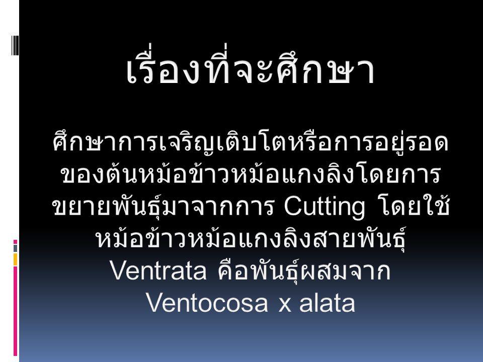 หม้อข้าวหม้อแกงลิงสายพันธุ์ Ventrata คือพันธุ์ผสมจาก Ventocosa x alata