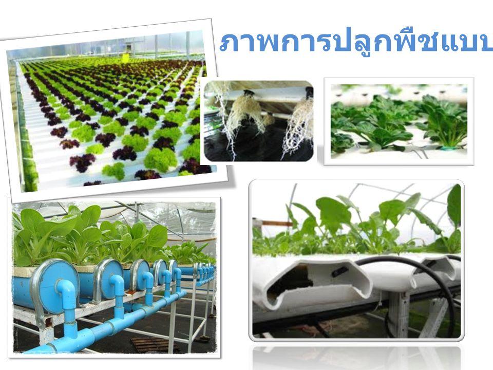 ภาพการปลูกพืชแบบไฮโดรโพนิกส์
