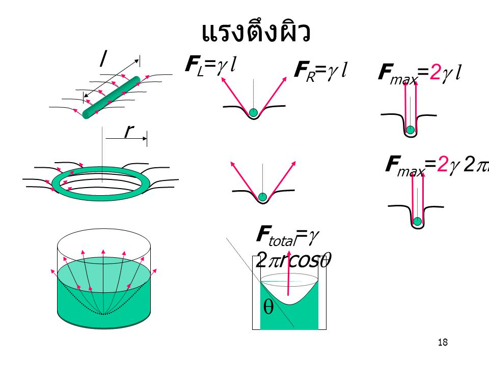 18 แรงตึงผิว l F R =  l F L =  l F max =2  l r F max =2  2  r F total =  2  rcos  