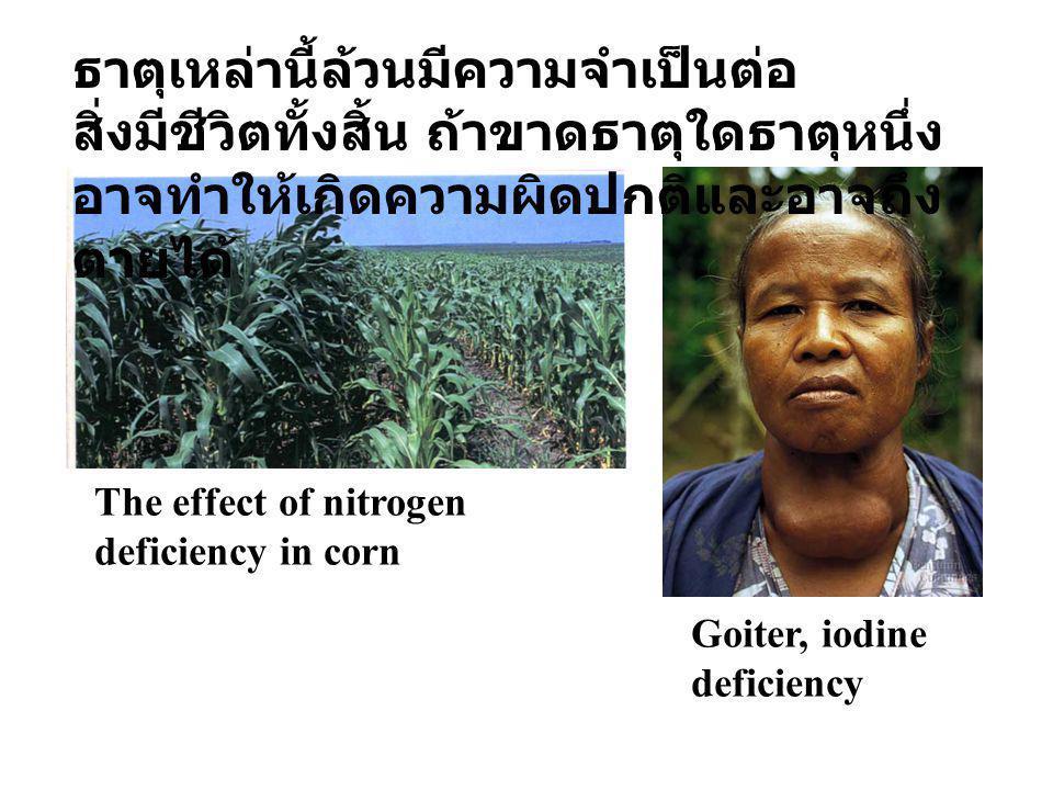 The effect of nitrogen deficiency in corn Goiter, iodine deficiency ธาตุเหล่านี้ล้วนมีความจำเป็นต่อ สิ่งมีชีวิตทั้งสิ้น ถ้าขาดธาตุใดธาตุหนึ่ง อาจทำให้