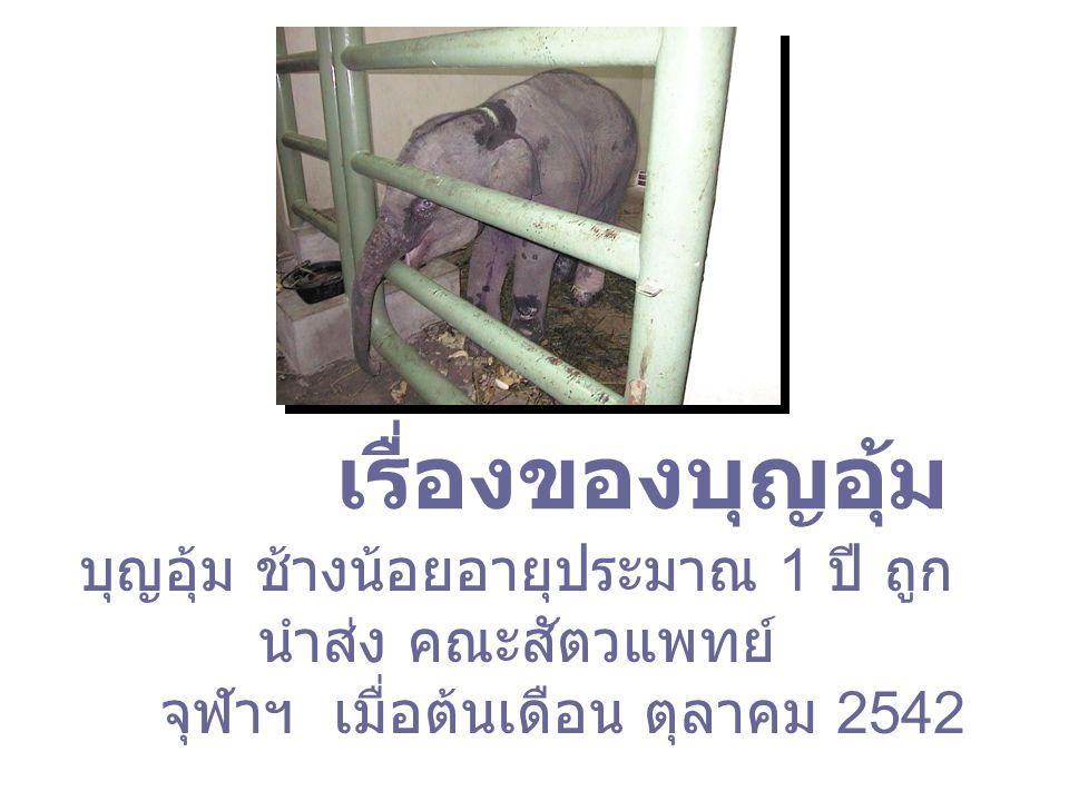 เรื่องของบุญอุ้ม บุญอุ้ม ช้างน้อยอายุประมาณ 1 ปี ถูก นำส่ง คณะสัตวแพทย์ จุฬาฯ เมื่อต้นเดือน ตุลาคม 2542
