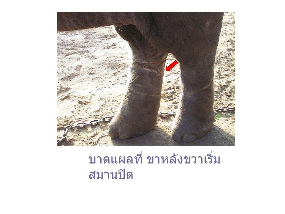 หลังจากได้รับการรักษาพยาบาล 1 เดือน อาการของบุญอุ้มก็ดีขึ้นเป็นลำดับ แผล ลึกที่ขาหลังด้านซ้ายสมานตัวและมี ผิวหนัง งอกขึ้นมาปกคลุม