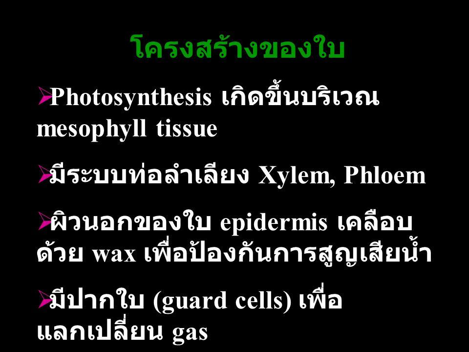 โครงสร้างของใบ  Photosynthesis เกิดขึ้นบริเวณ mesophyll tissue  มีระบบท่อลำเลียง Xylem, Phloem  ผิวนอกของใบ epidermis เคลือบ ด้วย wax เพื่อป้องกันก
