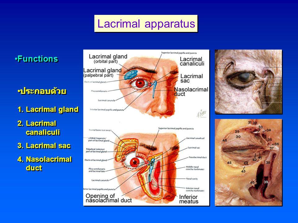 Lacrimal apparatus Functions ประกอบด้วย 1. Lacrimal gland 2. Lacrimal canaliculi 3. Lacrimal sac 4. Nasolacrimal duct ประกอบด้วย 1. Lacrimal gland 2.