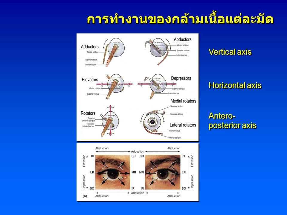 Vertical axis Horizontal axis Antero- posterior axis Antero- posterior axis การทำงานของกล้ามเนื้อแต่ละมัด
