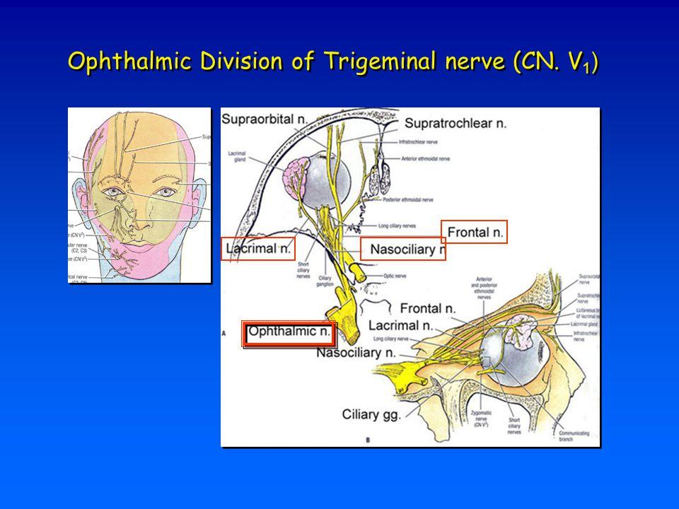 Ophthalmic Division of Trigeminal nerve (CN. V 1 )