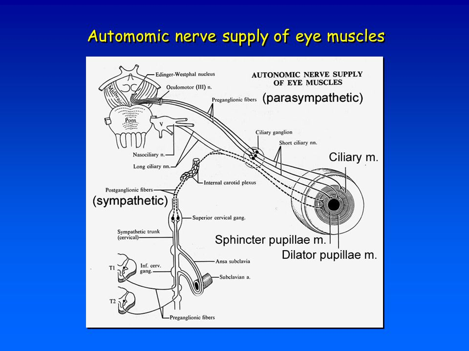 Automomic nerve supply of eye muscles