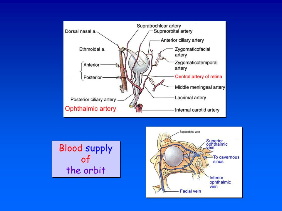 Blood supply of the orbit Blood supply of the orbit
