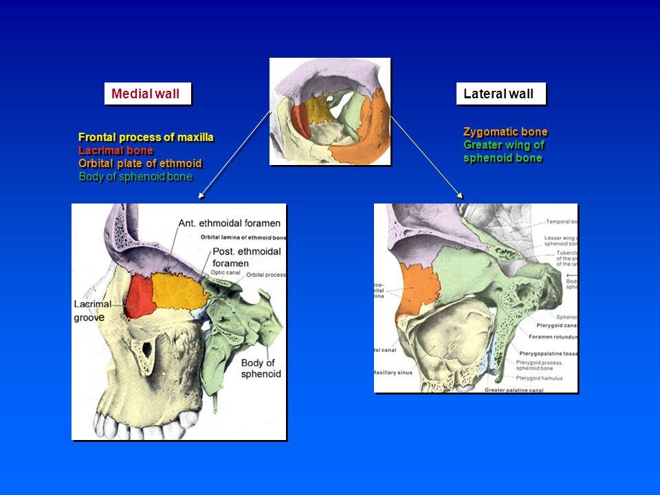 Extraocular muscles Levator palpebrae superioris m.