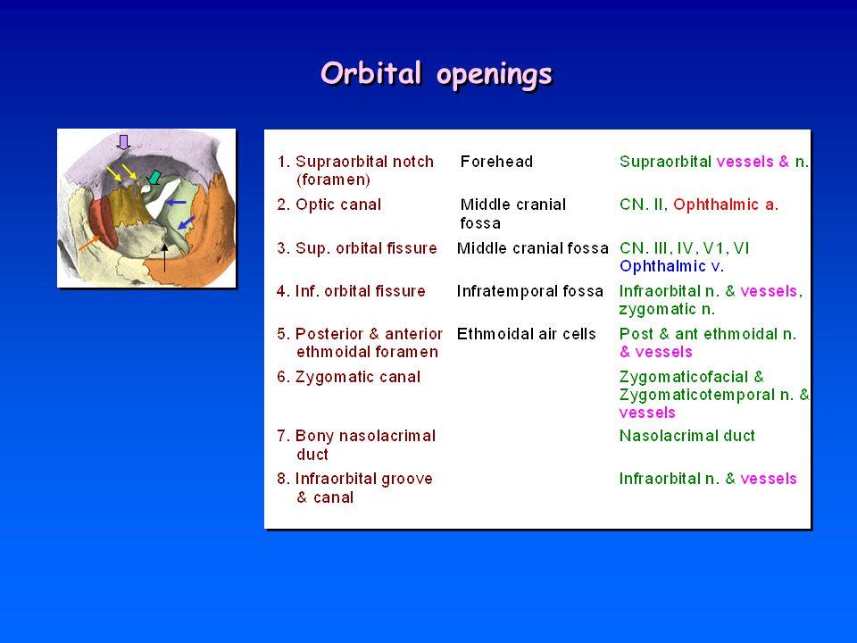 Orbital fasciae fibrous tissue ที่เชื่อมและรองรับ orbital contents 1.