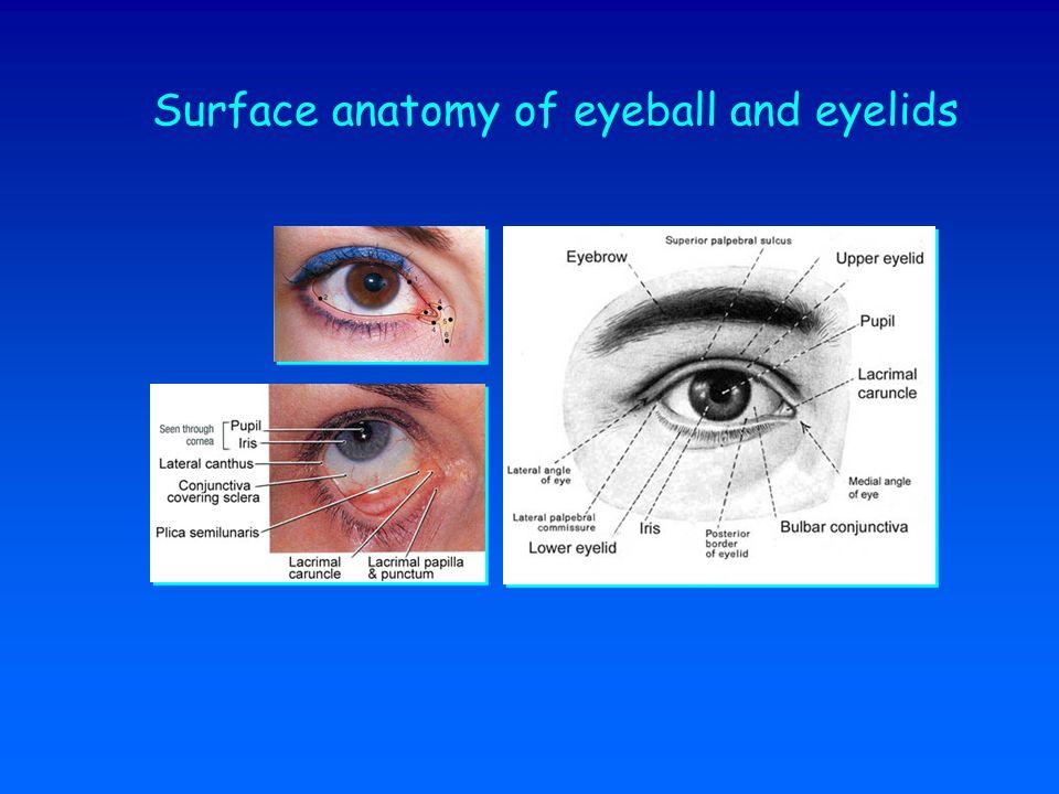 Surface anatomy of eyeball and eyelids