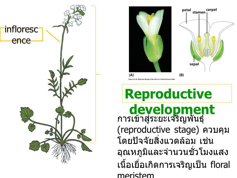 Reproductive development การเข้าสู่ระยะเจริญพันธุ์ (reproductive stage) ควบคุม โดยปัจจัยสิ่งแวดล้อม เช่น อุณหภูมิและจำนวนชั่วโมงแสง เนื้อเยื่อเกิดการเ