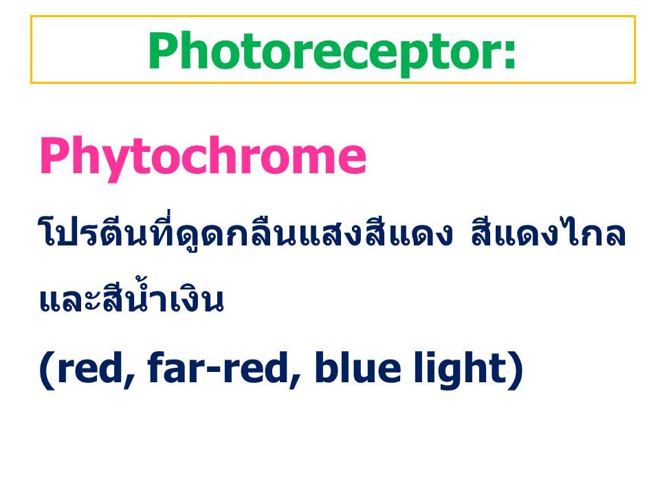 Photoreceptor: Phytochrome โปรตีนที่ดูดกลืนแสงสีแดง สีแดงไกล และสีน้ำเงิน (red, far-red, blue light)