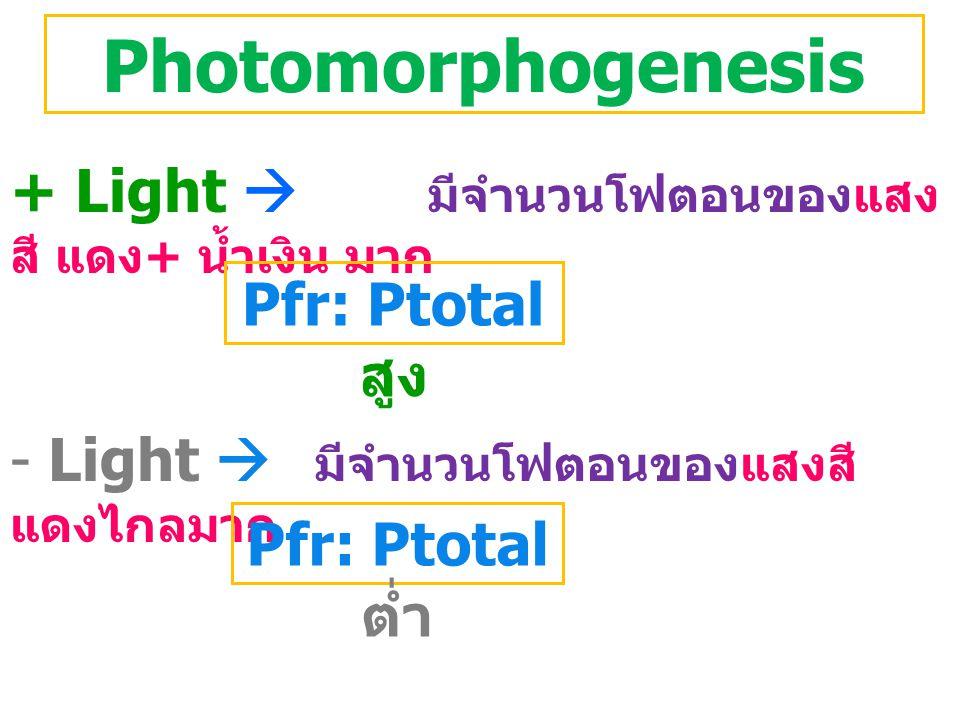 Photomorphogenesis + Light  มีจำนวนโฟตอนของแสง สี แดง + น้ำเงิน มาก - Light  มีจำนวนโฟตอนของแสงสี แดงไกลมาก Pfr: Ptotal สูง Pfr: Ptotal ต่ำ