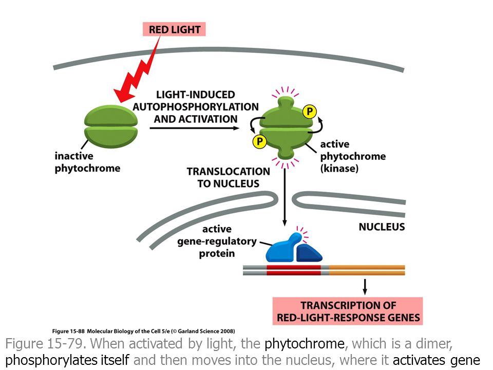 Figure 15-79. When activated by light, the phytochrome, which is a dimer, phosphorylates itself and then moves into the nucleus, where it activates ge