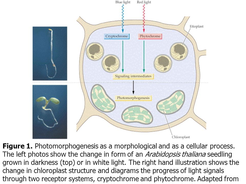 Figure 1. Photomorphogenesis as a morphological and as a cellular process. The left photos show the change in form of an Arabidopsis thaliana seedling