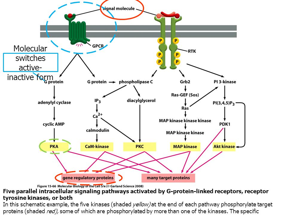 Five parallel intracellular signaling pathways activated by G-protein-linked receptors, receptor tyrosine kinases, or both In this schematic example,