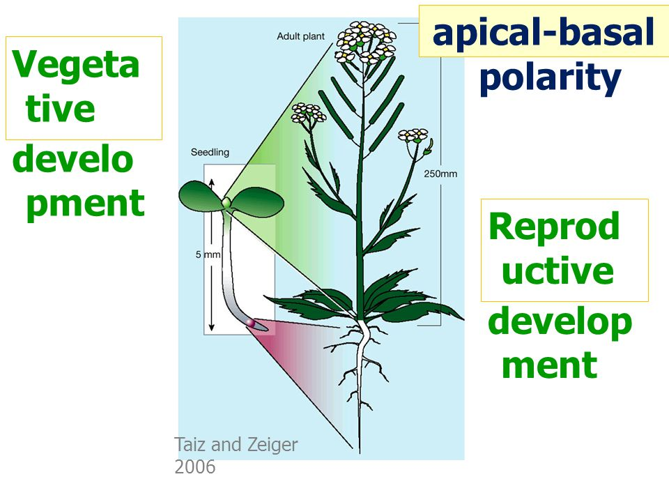 Taiz and Zeiger 2006 Reprod uctive develop ment Vegeta tive develo pment apical-basal polarity