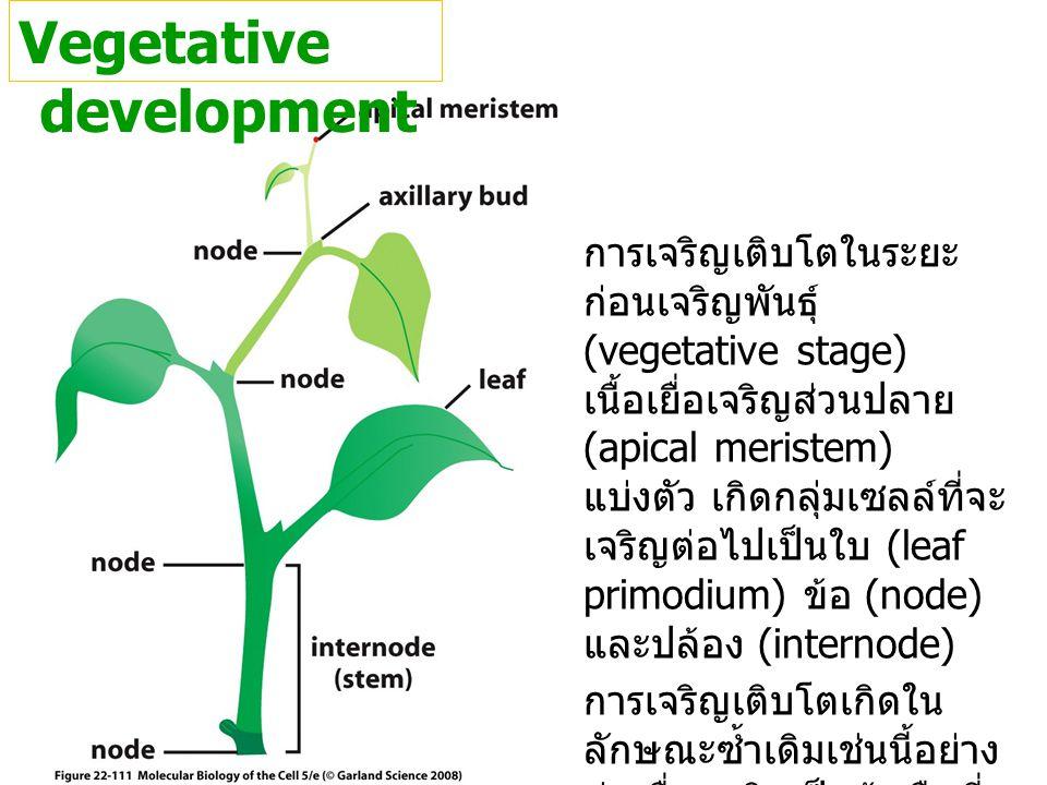 Vegetative development การเจริญเติบโตในระยะ ก่อนเจริญพันธุ์ (vegetative stage) เนื้อเยื่อเจริญส่วนปลาย (apical meristem) แบ่งตัว เกิดกลุ่มเซลล์ที่จะ เ